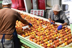 The peach industry is a vital part of Chilton County's economy. (Karim Shamsi-Basha/AlabamaNewsCenter)