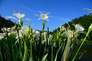 The Cahaba lily is the star of the Cahaba Lily Festival this weekend. (Karim Shamsi-Basha/Alabama NewsCenter)