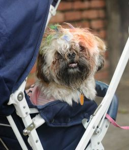 Pets are carried in plush strollers at Do Dah Day. (Photo courtesy of Lee Little)