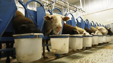 Greg Kelly had to learn a lot about sheep before he and wife Ana opened Dayspring Dairy.(Mark Sandlin/Alabama NewsCenter)