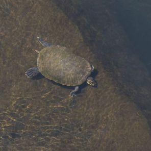 A turtle in the Chattahoochee River in Phenix City, Al. (Bernard Troncale/Alabama NewsCenter)
