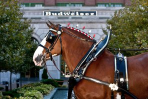 The Budweiser Clydesdales will be in Birmingham for the Veterans Day Parade and other locations through Nov. 13. (Budweiser)