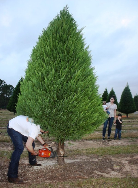 Alabama Christmas tree farms stay evergreen despite drought Alabama NewsCenter