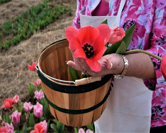 Tulips pull up easily. (Donna Cope / Alabama NewsCenter)