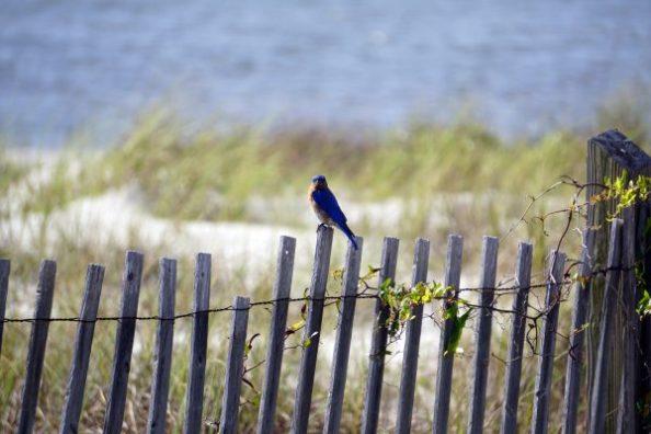 Eastern bluebird, Audubon Bird Sanctuary, Dauphin Island. (Erin Harney)
