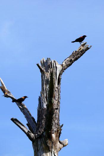 Red-winged blackbirds, Audubon Bird Sanctuary, Dauphin Island. (Erin Harney)