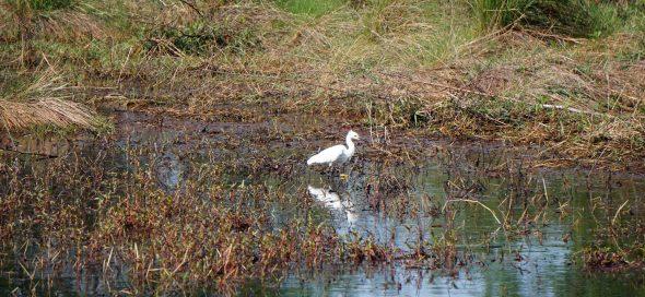 Snowy egret, Audubon Bird Sanctuary, Dauphin Island. (Erin Harney)