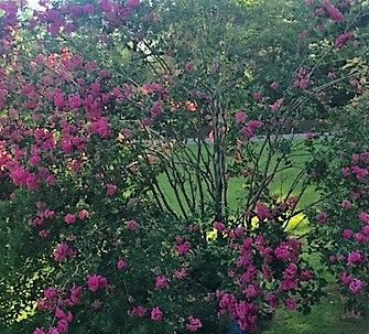 Bountiful rains have produced lovely crape myrtles. (Donna Cope/Alabama NewsCenter)