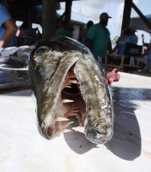 The sharp teeth of a 38.9-pound barracuda caught by Mike Hartman of Irvington. (Robert DeWitt/Alabama NewsCenter)
