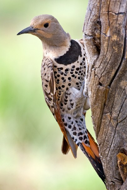 Female yellow-shafted northern flicker, Deschutes National Forest, near Fort Rock, Oregon, 2006. (Nature's Pics, Wikipedia)