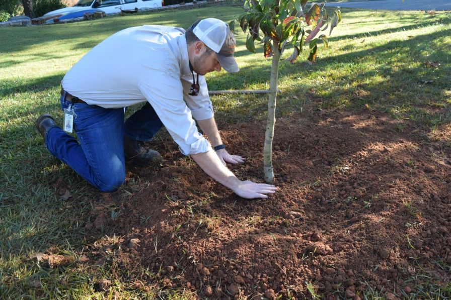 Flatten the soil around the root ball to help secure the roots. (Donna Cope/Alabama NewsCenter)