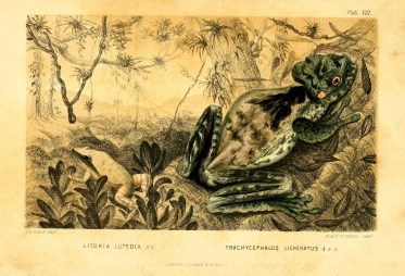 Illustration from A naturalist's sojourn in Jamaica by Philip Henry Gosse and assisted by Richard Hill, 1851. (Wikipedia)