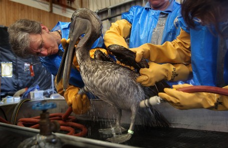 BURAS, LA - MAY 15: Heather Nevill (L), and fellow veterinarians clean an oil-covered brown pelican at the Fort Jackson Wildlife Rehabilitation Center on May 15, 2010 in Buras, Louisiana. The bird was rescued from Grand Isle two days before and brought to the center for rehabilitation. U.S. Secretary of the Interior Ken Salazar toured the center Saturday and watched the bird cleaning. Oil continues leaking out of the Deepwater Horizon wellhead as BP continues to work on containing the spill in the Gulf of Mexico off the Louisiana coast. (Photo by John Moore/Getty Images)