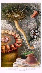 Illustration of British sea-anemone and corals by Philip Henry Gosse, Van voorst, Paternoster Row, London, 1860. (Wikipedia)
