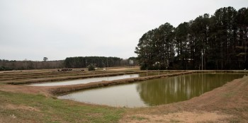 Kyser Family Farms has 50 catfish ponds covering 700 acres. (Robert DeWitt / Alabama NewsCenter)
