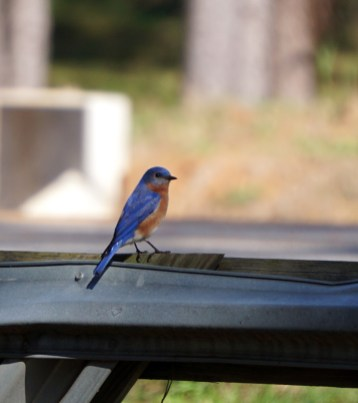 Bluebird at the Kreher Nature Preserve. (Erin Harney/Alabama NewsCenter)