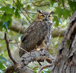 Great-horned owl at the Kreher Nature Preserve. (Copyright © Lew Scharpf)