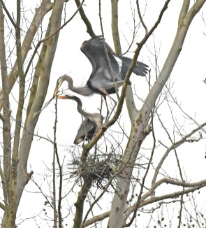 Heron pair nest building at the Kreher Nature Preserve. (Copyright © Lew Scharpf)