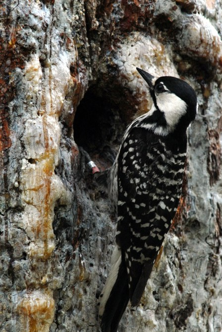 A red-cockaded woodpecker feeds its young in the cavity of a longleaf pine in Georgia. (John Maxwell/U.S. Fish and Wildlife Service)