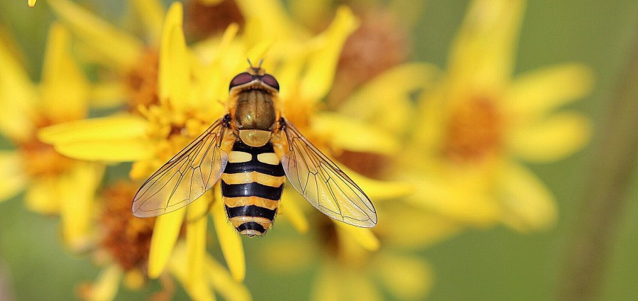 A honey bee pollinates on a flower. Imperiled pollinators are responsible for the reproduction of 90 percent of the world's wild plant and tree species, according to Bee Campus USA. (Getty Images)