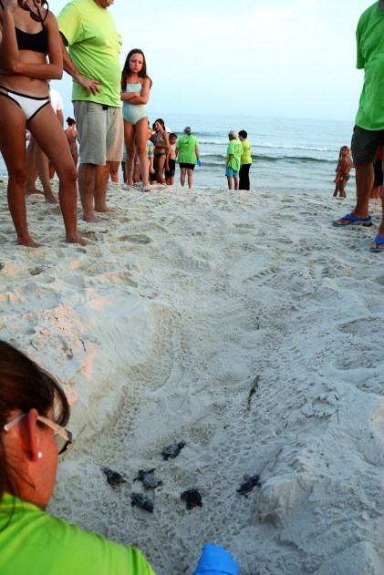 Twenty baby turtles make their way from the nest toward the water in a guiding sand trench made by Share the Beach volunteers. (Karim Shamsi-Basha/Alabama NewsCenter)