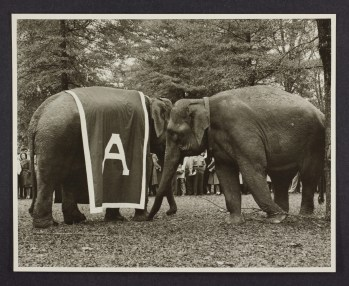 Two elephants, one wearing an Alabama drape, on the Quadrangle for Homecoming in 1947. (The University of Alabama Libraries Special Collections)