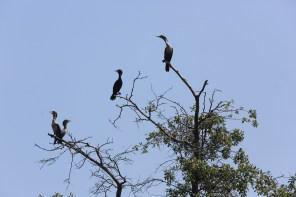 Birds perch in the trees on School Bus Island. (Meg McKinney/Shorelines)