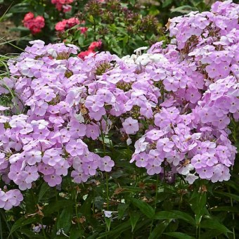 Amethyst pearl phlox is one of the featured plants at this year's Birmingham Botanical Gardens Spring Plant Sale. (Birmingham Botanical Gardens)