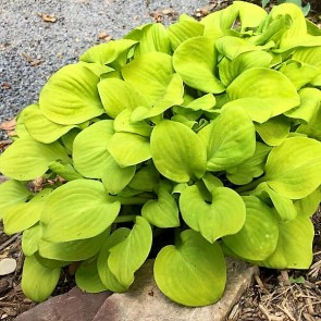 Sun mouse hosta is one of the featured plants at this year's Birmingham Botanical Gardens Spring Plant Sale. (Birmingham Botanical Gardens)