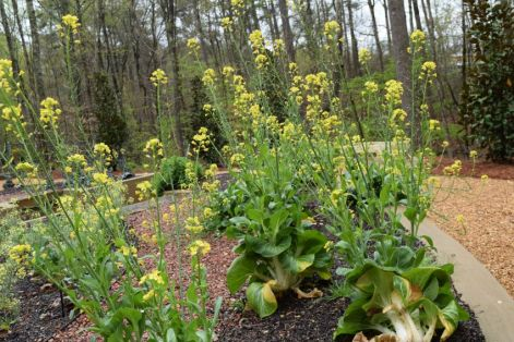 Kitchen herbs such as parsley and oregano attract bees. (Donna Cope/Alabama NewsCenter)