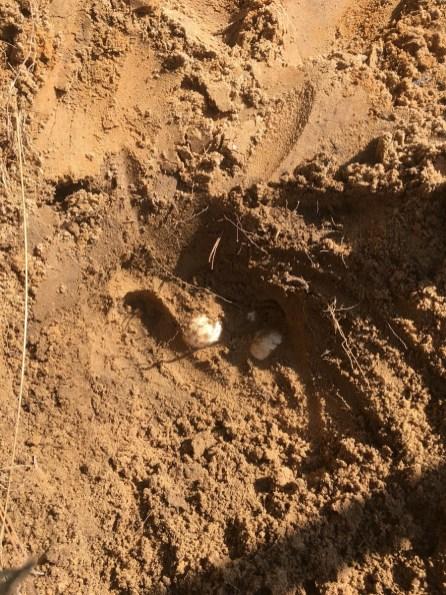 A gopher tortoise egg. (Alabama Power Company)