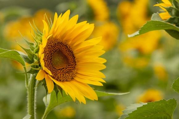 The Sunflower Field in Autaugaville (Dennis Washington / Alabama NewsCenter)