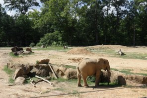 One of the Birmingham Zoo's new African elephants explores his new home. (Bria Bailey/Alabama NewsCenter)