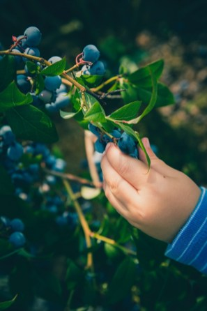 Blueberries grow in the wild in various forms. (contributed)