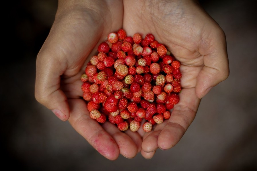 Wild strawberries, pictured, can be as tasty as those grown commercially, but you have to know how to distinguish them from mock strawberries. (contributed)