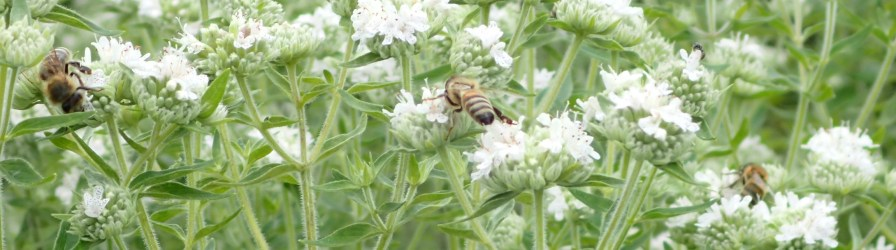 Bees pollinate 80% of the world's plants, with a diverse group of insects and creatures such as hummingbirds, lizards and bats responsible for the remaining 20%. (Roundstone Native Seed)