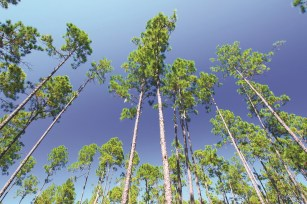 The National Fish and Wildlife Foundation announced more than $6.3 million in grants to restore, enhance and protect longleaf pine forests in nine states, including Alabama. (contributed)