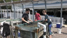 Researchers at Dauphin Island Sea Lab test the effects of predators on oyster shell production. (contributed)