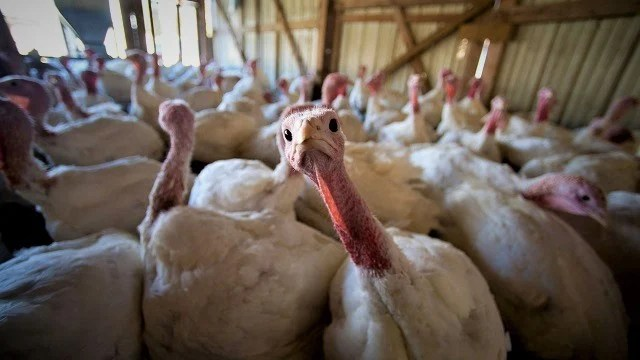 Thanksgiving turkey prices at lowest level in nine years