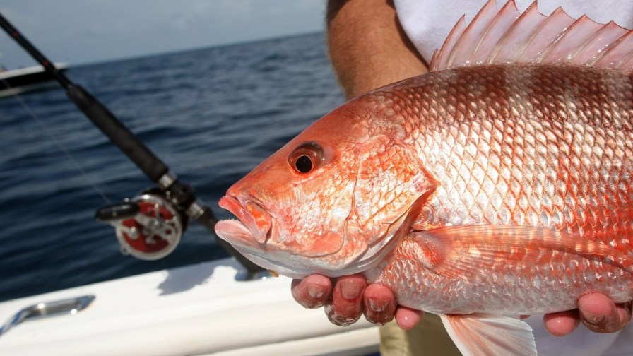 Alabama officials believe they have the biggest and best red snapper fishery in the world. (file)