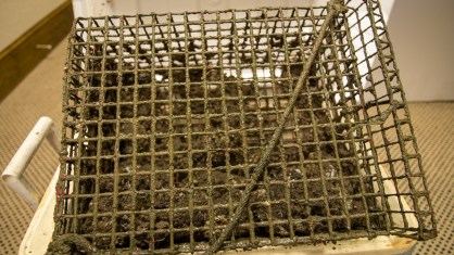 The cages help protect the oysters from large predators. (Dennis Washington / Alabama NewsCenter)