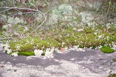 Mosses and lichens at Flat Rock Park. (David Frings)