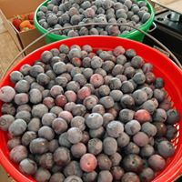 Blueberry season is in full swing now at Backyard Orchards in Eufaula. (contributed)