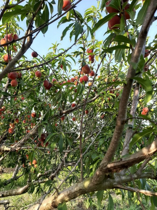 Peaches are so popular at the Backyard Orchards u-pick farm in Eufaula that the owners are looking to expand. (contributed)