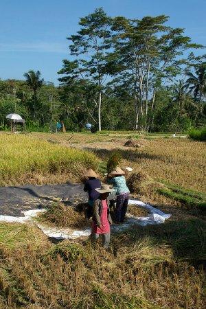 Travaux agricoles dans une rizière, Bali