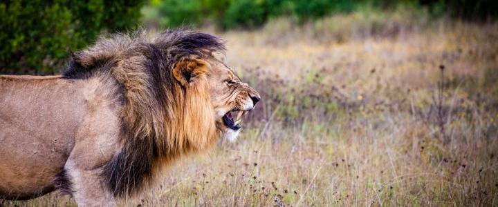 Mag ik de nieuwe Leeuwenkoning nog wel kijken?