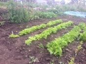 Lettuce and yes, bindweed