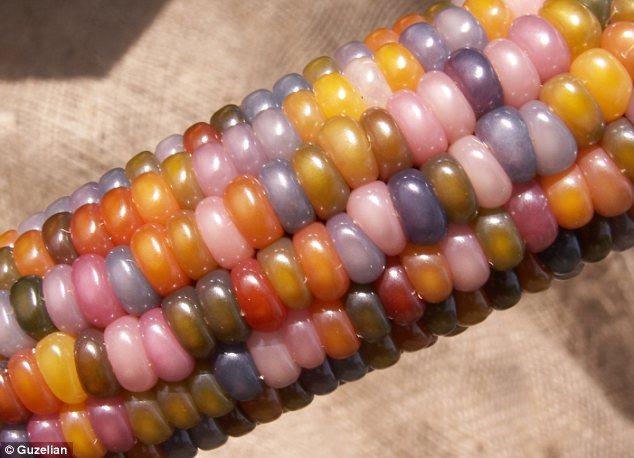 الذرة الملونة