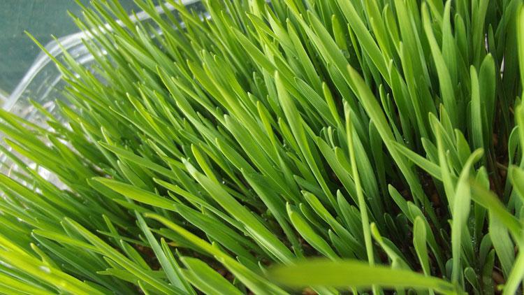 براعم القمح فوائدها المذهلة وطريقة تحضيرها وإستخدامها؟