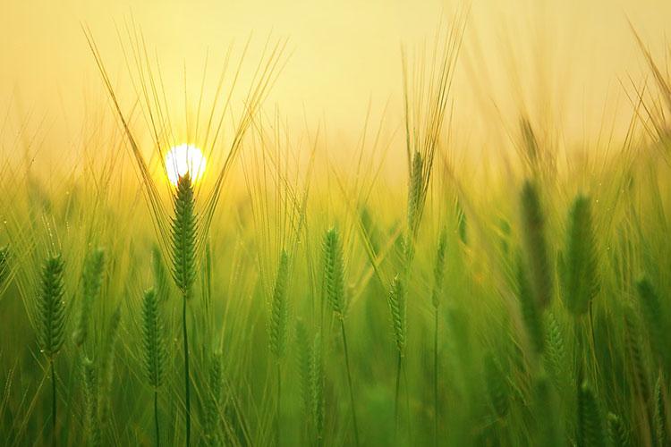 سنابل الحنطة والقمح